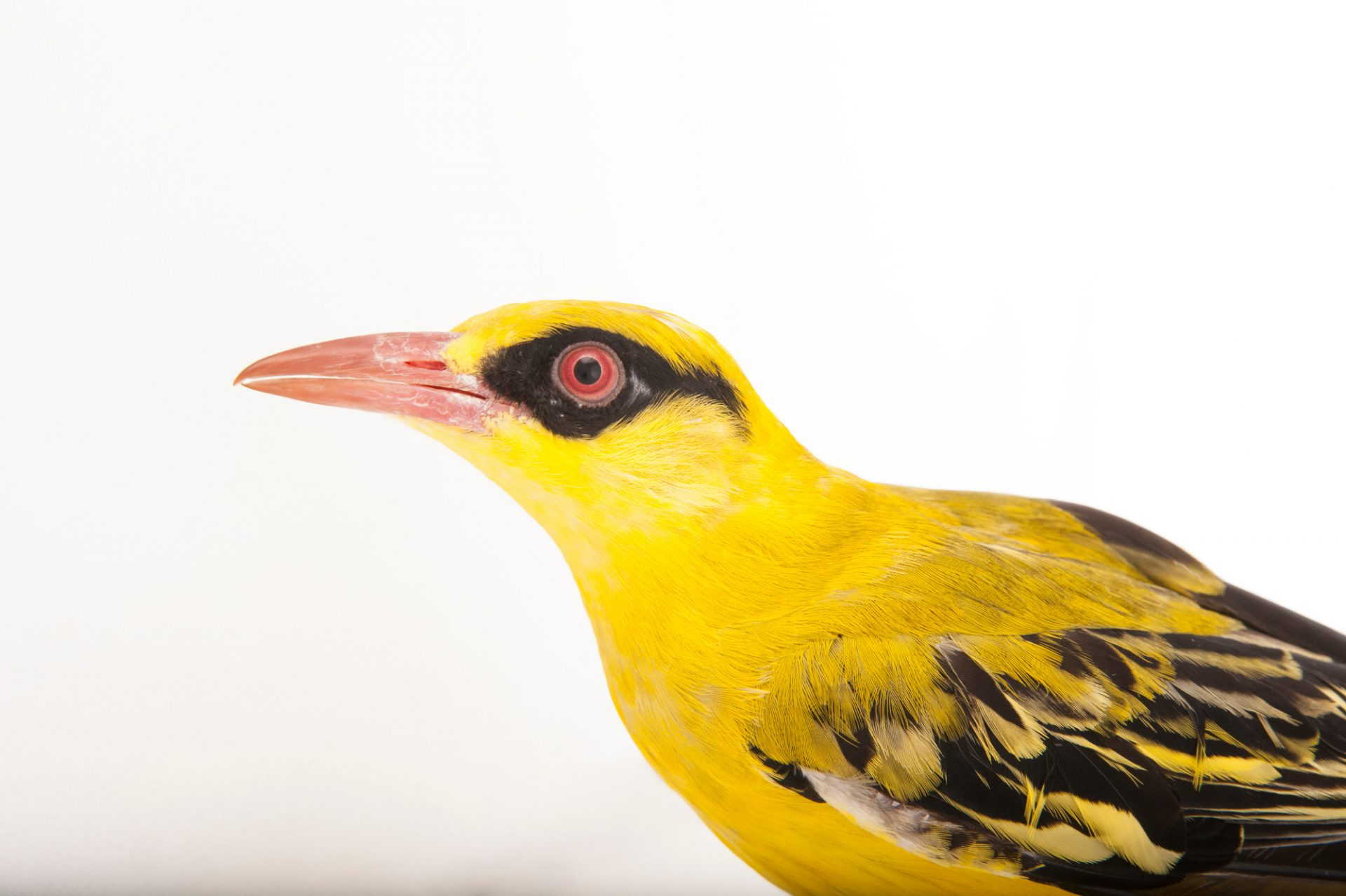 An African golden oriole (Oriolus auratus) at the Columbus Zoo.