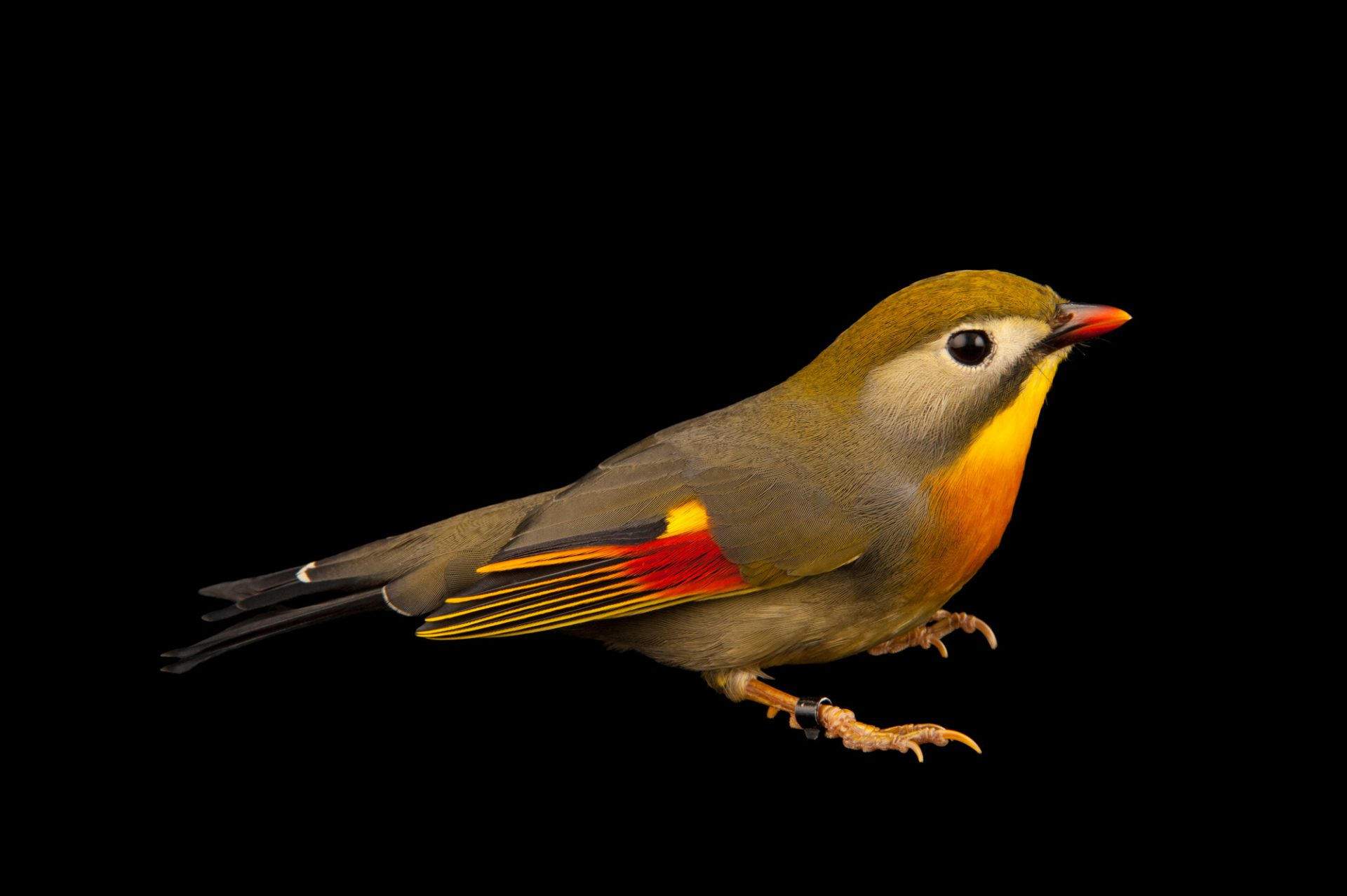 A red-billed leiothrix (Leiothrix lutea) at the Houston Zoo.