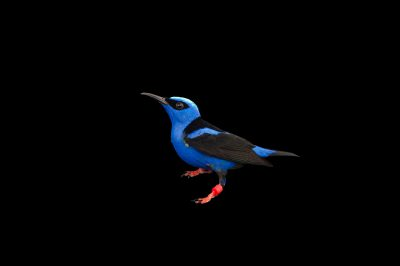 Picture of a male red-legged honeycreeper (Cyanerpes cyaneus) at the Miller Park Zoo.
