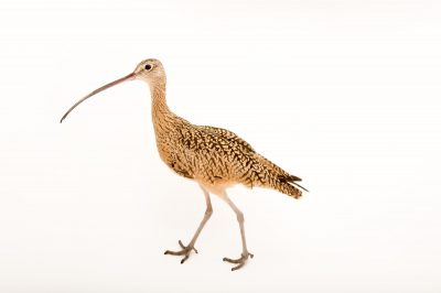 Picture of a female long-billed curlew (Numenius americanus) at the Tracy Aviary. She's the only one in captivity.