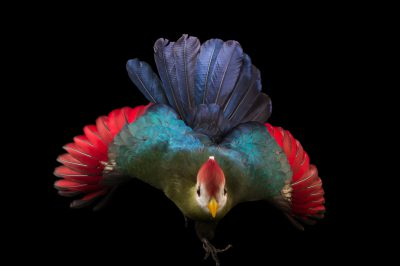 Picture of Kambo, a red-crested turaco (Tauraco erythrolophus), at Tracy Aviary.