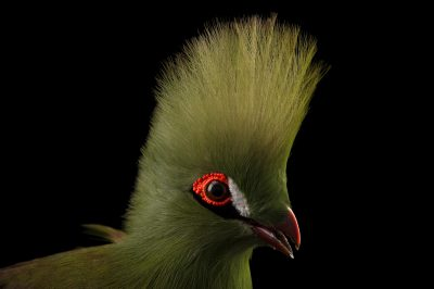 Picture of a Guinea turaco (Tauraco persa buffoni) at the Santa Fe College Teaching Zoo.