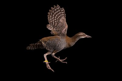 Photo: A Guam rail (Hypotaenidia owstoni) at the Santa Fe College Teaching Zoo. This species is extinct in the wild.