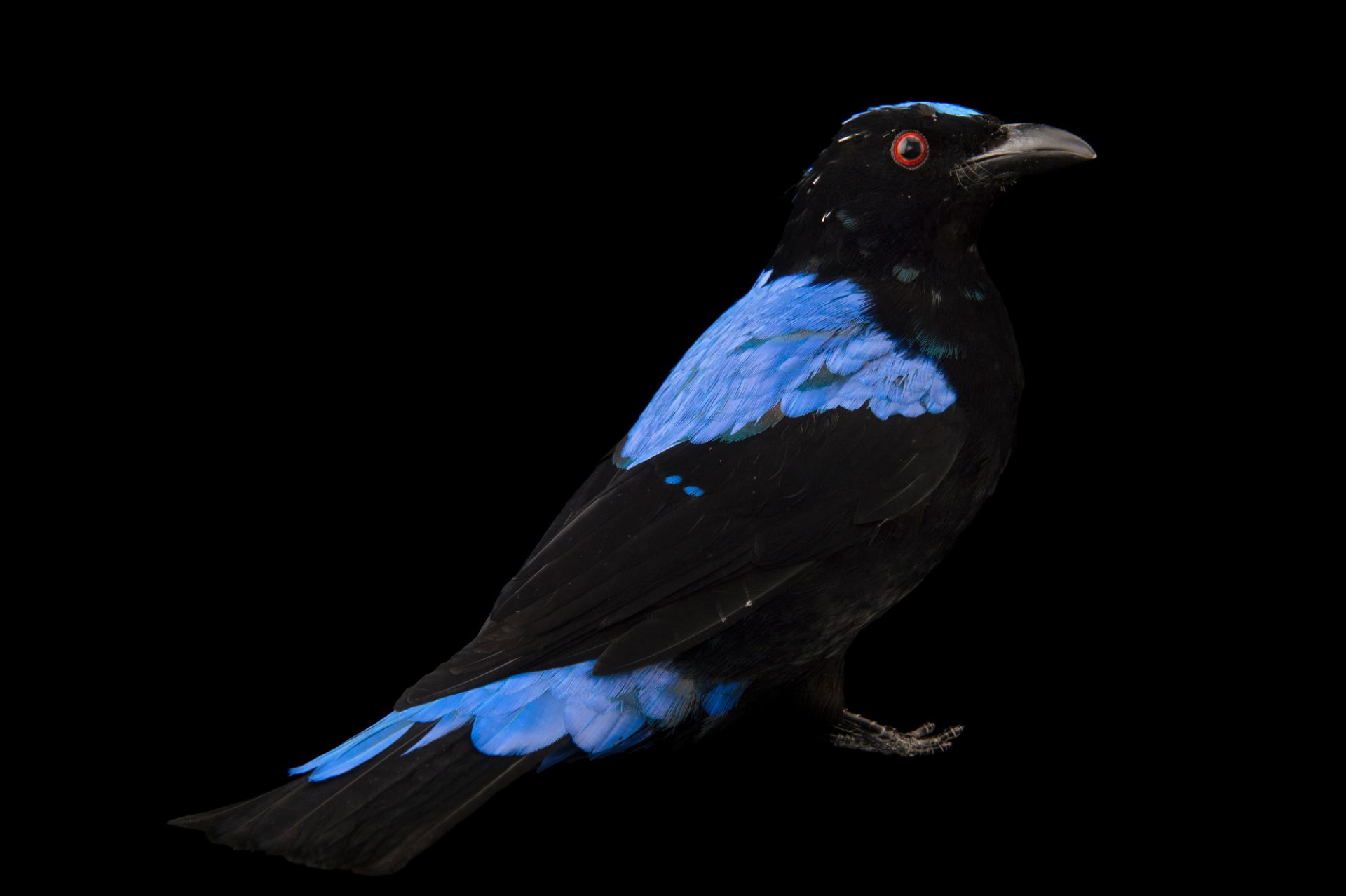 Picture of a male Asian fairy-bluebird (Irena puella) at Omaha's Henry Doorly Zoo.