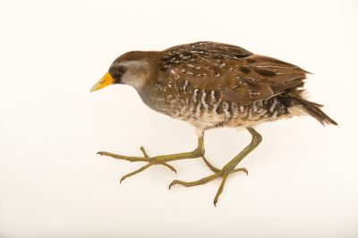 Picture of a Sora rail (Porzana carolina) at Sylvan Heights Bird Park.