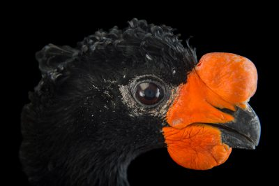 Picture of an endangered (IUCN) and federally endangered, male red-billed curassow (Crax blumenbachii) at Sylvan Heights Bird Park.