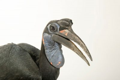 Picture of an Abyssinian ground hornbill (Bucorvus abyssinicus) at the LA Zoo.
