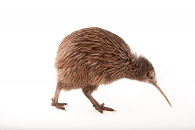Picture of an endangered North Island brown kiwi (Apteryx mantelli) at the Columbus Zoo.