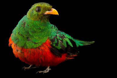 Picture of a golden-headed quetzal (Pharomachrus auriceps) from a private collection in Choussy, France.