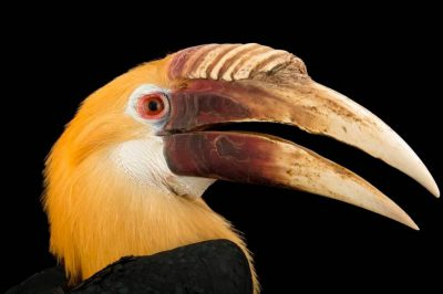 Picture of a Papuan hornbill (Rhyticeros plicatus) from the Soloman Islands.