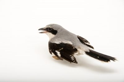 Picture of a loggerhead shrike (Lanius ludovicianus migrans) at the Toronto Zoo.