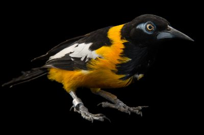 Picture of a Venezuelan troupial (Icterus icterus) at the National Aviary of Colombia.