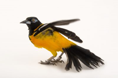 A Venezuelan troupial (Icterus icterus ridgwayi) at the National Aviary of Colombia.