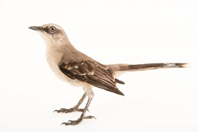 Picture of a tropical mockingbird (Mimus gilvus) at the National Aviary of Colombia.