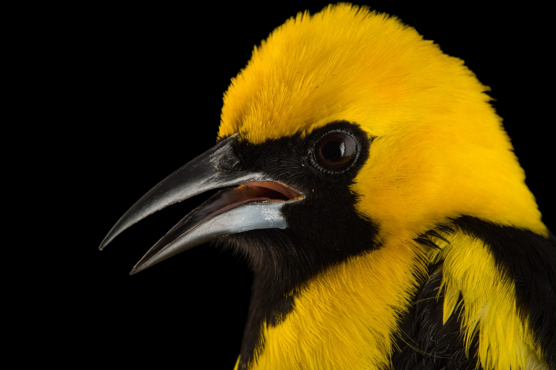 Picture of a yellow-tailed oriole (Icterus mesomelas) at the National Aviary of Colombia