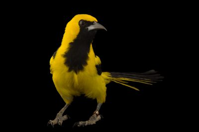 Picture of a yellow-tailed oriole (Icterus mesomelas) at the National Aviary of Colombia.