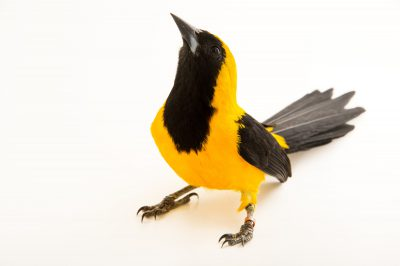 Picture of a yellow-backed oriole (Icterus chrysater) at the National Aviary of Colombia.