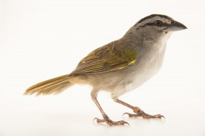 Picture of a tocuyo sparrow (Arremonops tocuyensis) at the National Aviary of Colombia.