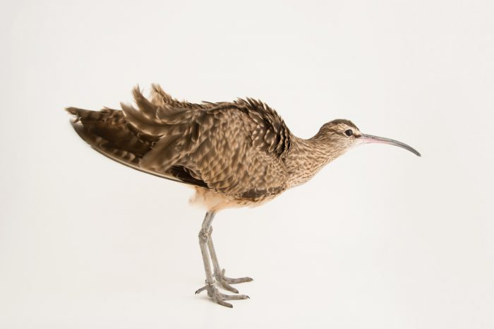 Picture of a whimbrel (Numenius phaeopus) at the National Aviary of Colombia.