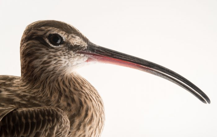 Picture of a whimbrel (Numenius phaeopus) at the National Aviary of Colombia