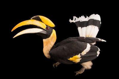 A great hornbill (Buceros bicornis) at the Houston Zoo.