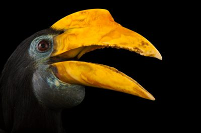A female wrinkled hornbill (Rhabdotorrhinus corrugatus) at the Houston Zoo.