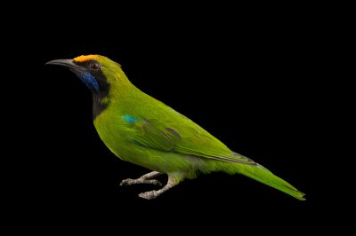 A golden-fronted leafbird (Chloropsis aurifrons) at the Houston Zoo.