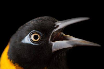 Picture of a Venezuelan Troupial (Icterus icterus) at the Houston Zoo.