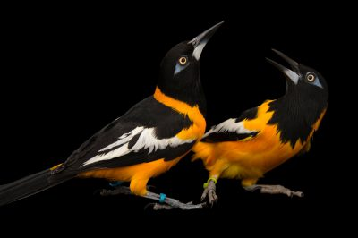 Picture of two Venezuelan Troupials (Icterus icterus) at the Houston Zoo.