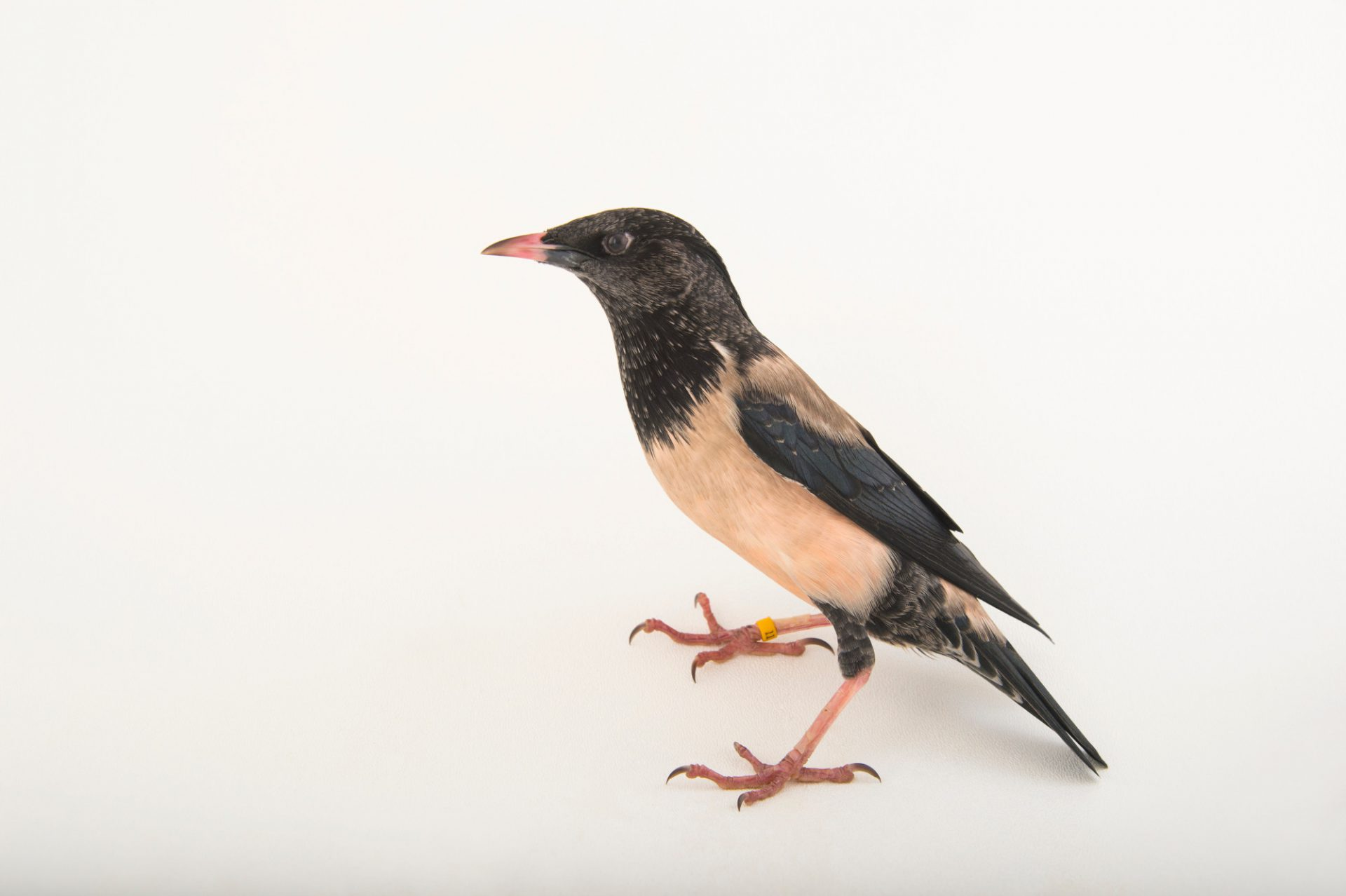 Picture of a rose-coloured starling (Sturnus roseus) or rosy starling, at the Houston Zoo.