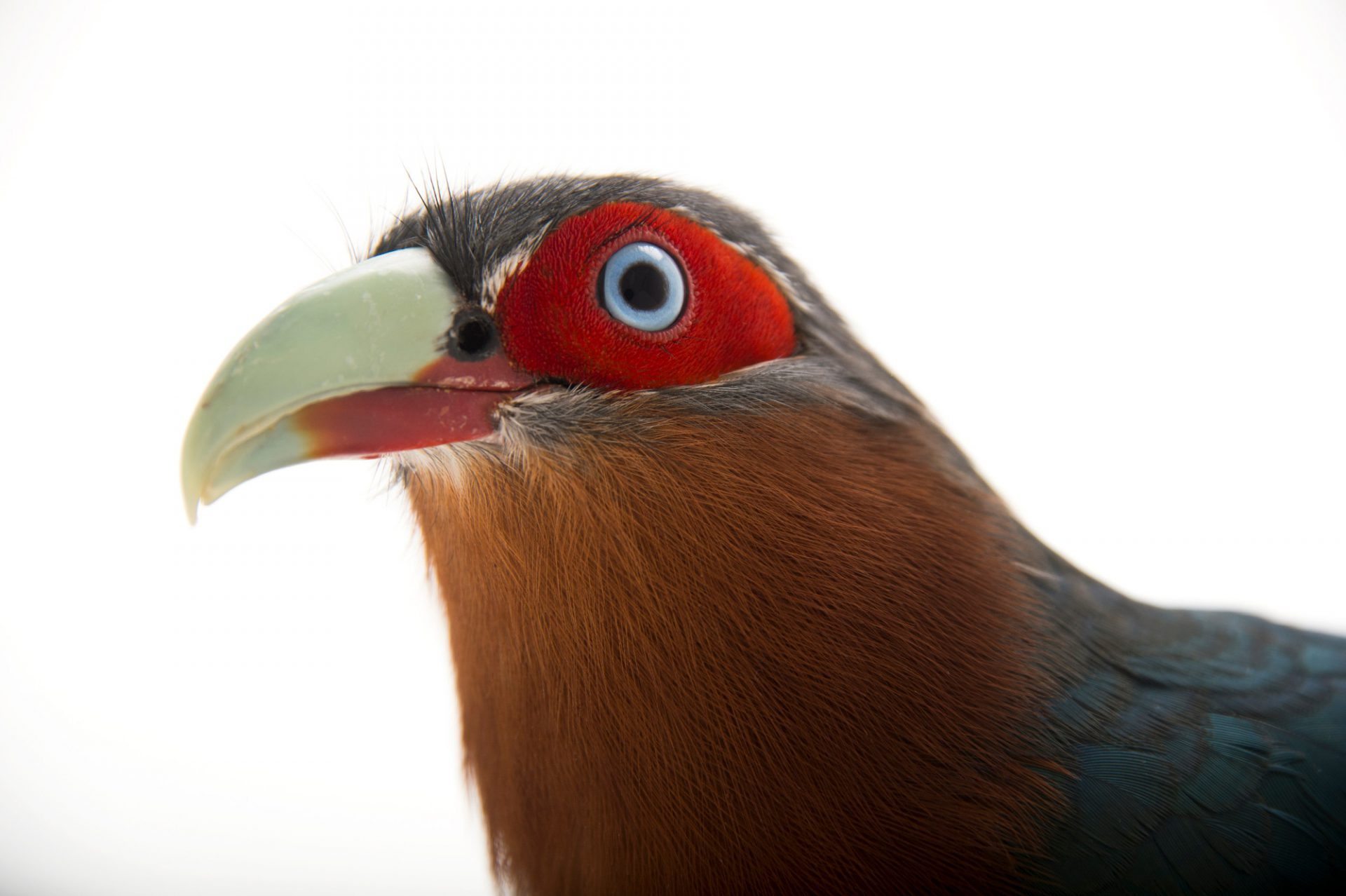 Picture of a chestnut-breasted malkoha (Phaenicophaeus curvirostris singularis) at the Houston Zoo.