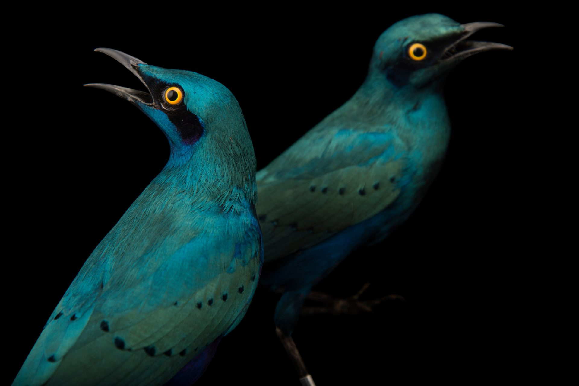 Picture of two lesser blue-eared glossy starlings (Lamprotornis chloropterus) at the Houston Zoo.