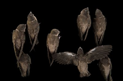 Picture of chimney swifts (Chaetura pelagica) at the WildCare Foundation.