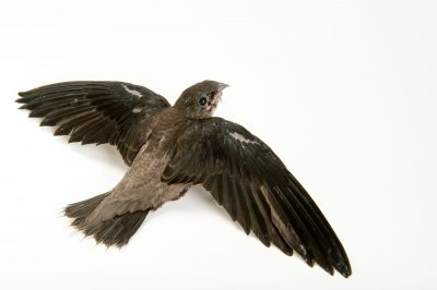 Picture of a chimney swift (Chaetura pelagica) at the WildCare Foundation.