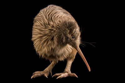 Picture of an endangered rowi kiwi or okarito kiwi (Apteryx rowi) at the West Coast Wildlife Centre in Franz Josef Glacier, New Zealand.