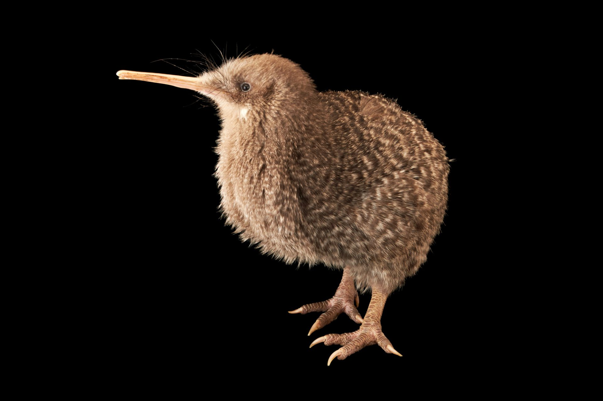 Picture of a little spotted kiwi or little gray kiwi (Apteryx owenii owenii) at the Wellington Zoo.