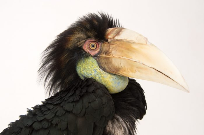 Picture of Zelda, a two-year-old bar-pouched wreathed hornbill (Rhyticeros undulatus) at Tracy Aviary.