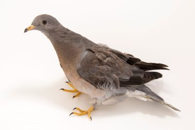Picture of a juvenile band tailed pigeon (Patagioenas fasciata) at the Wildlife Center of Silicon Valley.