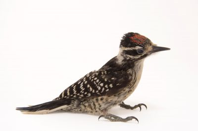 Picture of a Nuttall's woodpecker (Picoides nuttallii) at the Wildlife Center of Silicon Valley.