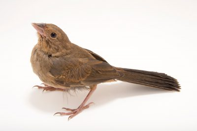 Picture of a California towhee (Melozone crissalis) at the Wildlife Center of Silicon Valley.