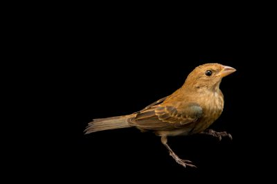 Picture of a female indigo bunting (Passerina cyanea) at St. Francis Wildlife, a rehab center in Quincy, FL.