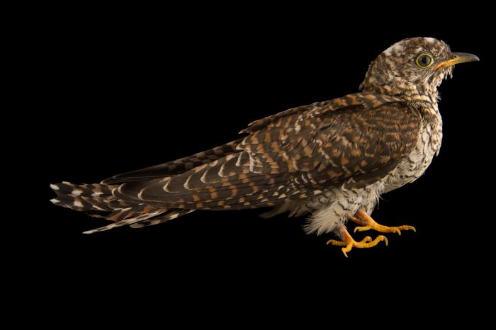Photo: A juvenile common cuckoo (Cuculus canorus) from the Budapest Zoo.