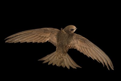 Photo: Common swift (Apus apus) from the Budapest Zoo.