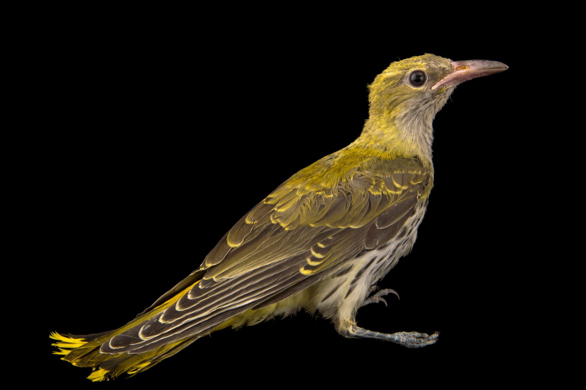 Photo: A female Eurasian golden oriole (Oriolus oriolus) from the Budapest Zoo.