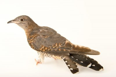 Photo: Common cuckoo (Cuculus canorus) from the Budapest Zoo.