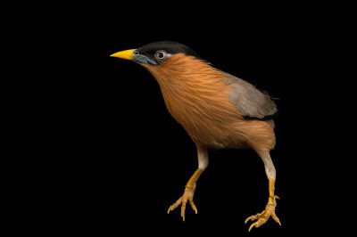 Photo: Brahminy starling (Sturnus pagodarum) from a private collection.