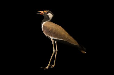 Photo: Red-wattled lapwing (Vanellus indicus) at Kamla Nehru Zoological Garden, Ahmedabad, India.