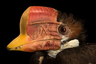Photo: A critically endangered, female helmeted hornbill (Rhinoplax vigil) at Penang Bird Park.