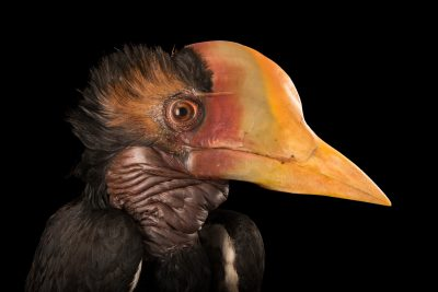Photo: A critically endangered, juvenile male helmeted hornbill (Rhinoplax vigil) at Penang Bird Park.