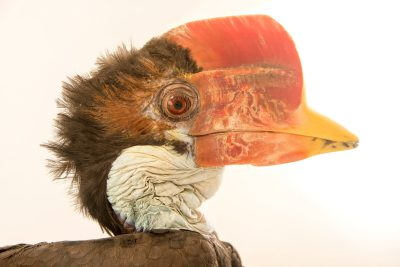 Photo: A critically endangered, juvenile, male helmeted hornbill (Rhinoplax vigil) at Penang Bird Park.